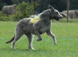 afghan hound saddle all breeds dogs