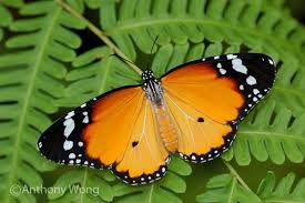 butterflies of singapore history of the plain tiger
