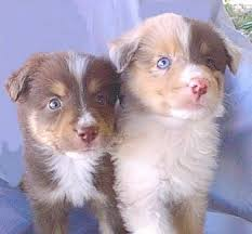 australian shepherd pictures australian shepherd dog breed pictures 2