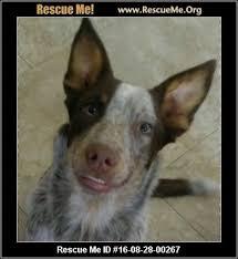 australian shepherd furever australian shepherd blog u2015 rescueme org