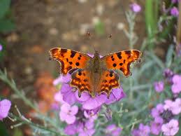file comma butterfly on a wallflower jpg wikimedia commons