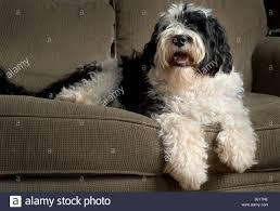 black and white portuguese water dog siting on a couch stock photo