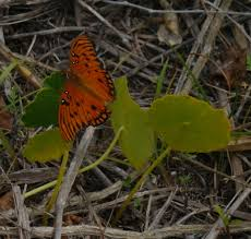 florida native butterfly plants weedpicker u0027s journal gulf butterfly florida