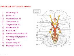 3rd cranial nerve anatomy choice image learn human anatomy image