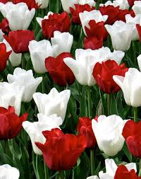 canada flowers flower bulbs r us retail bulbs at a bulk price