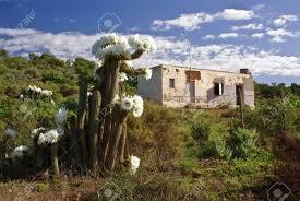flowering cactus against desolate country house in savannah of