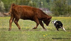 australian shepherd 2015 nationals tucker creek u2013 ontario canada u2013 working aussie source