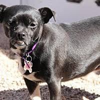 afghan hound rescue az phoenix az pet adoption az small dog rescue has dogs puppies