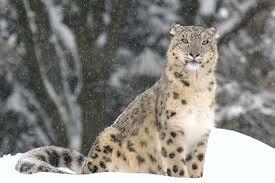 feline mammal family britannica com