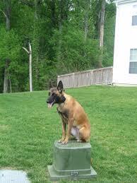 belgian shepherd north carolina 164 best dogs belgian malinois images on pinterest belgium