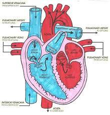 Diagram Heart Anatomy Easy To Follow Arrows For Blood Flow Cardiac Medsurg Nursing