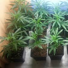 imagenes perronas mota seguimiento cannabis indoor mota perrona youtube