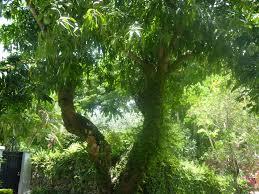 file original haden mango tree jpg wikimedia commons