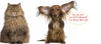 ear infection treatment for dogs and cats lone sorensen