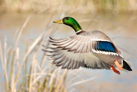 birdist rule 79 think of something nice to say about mallards