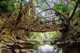 living root bridge near mawlynnong india