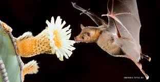 not just the birds and bees u2013 6 fast facts about pollinating bats