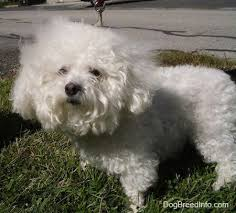 bichon frise puppy cut bichon frise dog breed information and pictures