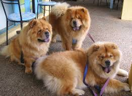 everything about your chow chow luv my dogs