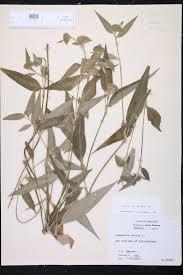 native plants of arkansas commelina erecta species page isb atlas of florida plants