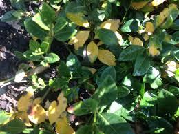 yellowing of leaves burke u0027s backyard