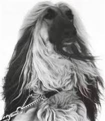 us afghan hound gold u0027n copper afghan hounds