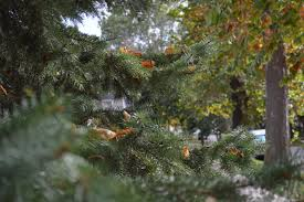 locate an iowa tree farm for a locally grown christmas tree