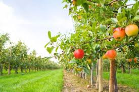 fertilizing backyard fruit trees lack of adequate nutrients will