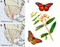 Monarch Migration Map The Monarch Butterfly Genome Yields Insights Into Long Distance