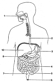 draw and label the digestive system diagram body of anatomy