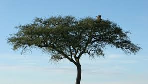 Tropical Savanna Dominant Plants - african plants u0026 animals sciencing