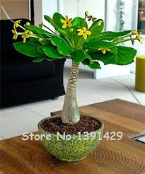 5 pieces mini pachira macrocarpa seeds hawaiian make money tree