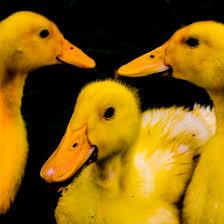 free stock photo of cute ducks duck duckling