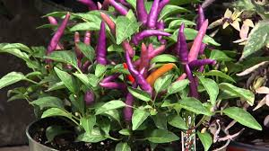 get it growing ornamental peppers