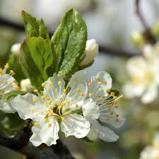 chickasaw plum trees buy at nature nursery