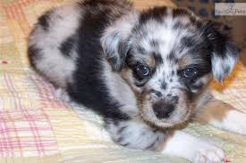 australian shepherd indiana australian shepherd puppies puppy dog gallery