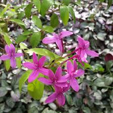 Sweet Pea Images Flower - free images blossom flower petal paradise botany hawaii