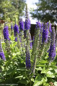 purple perennial flowers list u2013 thin blog