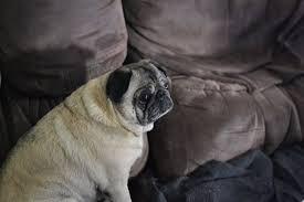 Sad Pug Meme - the next sad pug meme by lala lolipop on deviantart