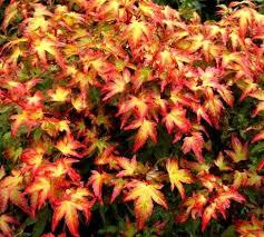 japanese maples 10 sunnyside nursery
