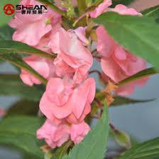 Cheap Flower Seeds - discount balsam flower seeds 2017 balsam flower seeds on sale at