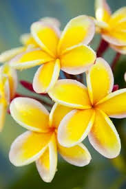 Most Fragrant Jasmine Plant - art of nature photo fragrant flowers pinterest flowers