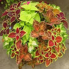 How To Grow Coleus Plants by Garden Design Garden Design With How To Grow Coleus From Cuttings