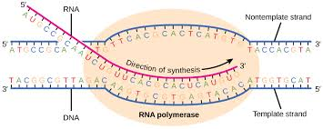 transcription concepts of biology