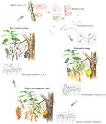 Plant Disease Journal - time for chocolate current understanding and new perspectives on