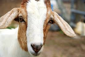 a guide to eye problems and eye infections in goats countryside