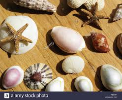 assorted seashells assorted seashells dried starfish stock photo 88202565 alamy