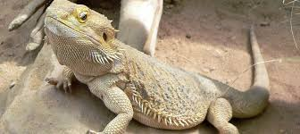 bearded dragons color bearded dragon care