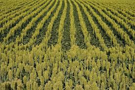 how to grow sorghum sudan grass as a cover crop
