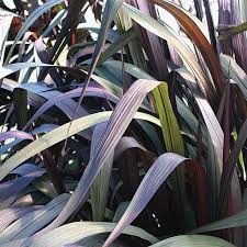 graceful grasses vertigo purple grass pennisetum